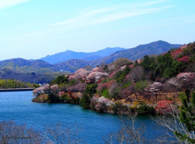 Montagne fleuri de cerisiers
